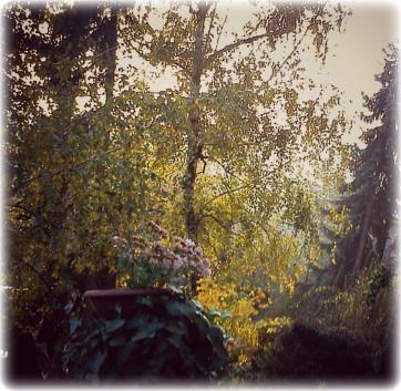 Illusztráció vershez, lombos, sárguló, őszi nyírfa, fenyő, borostyán, tuja, gyep és cserépbe ültetett rózsaszín virág egy elvadult budapesti kertben.