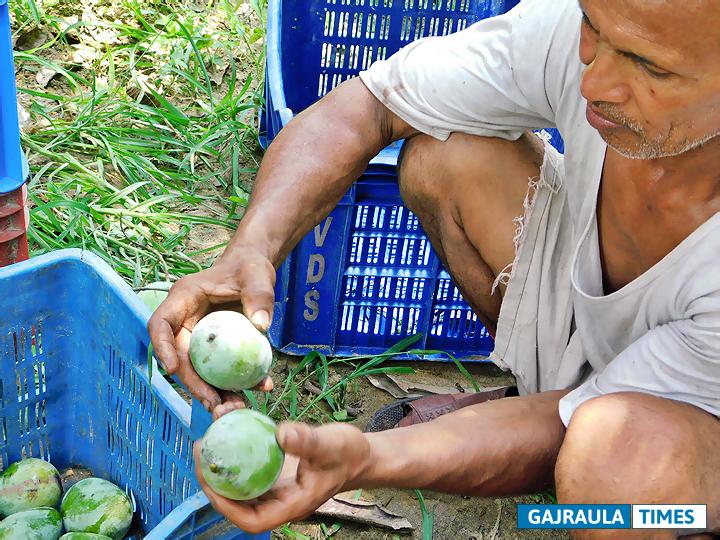mango-plantation