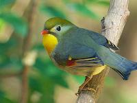 Download Suara Burung Robin Untuk Masteran