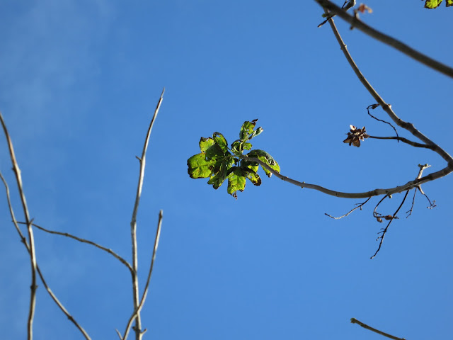 The last green leaf on a tree against a very blue sky