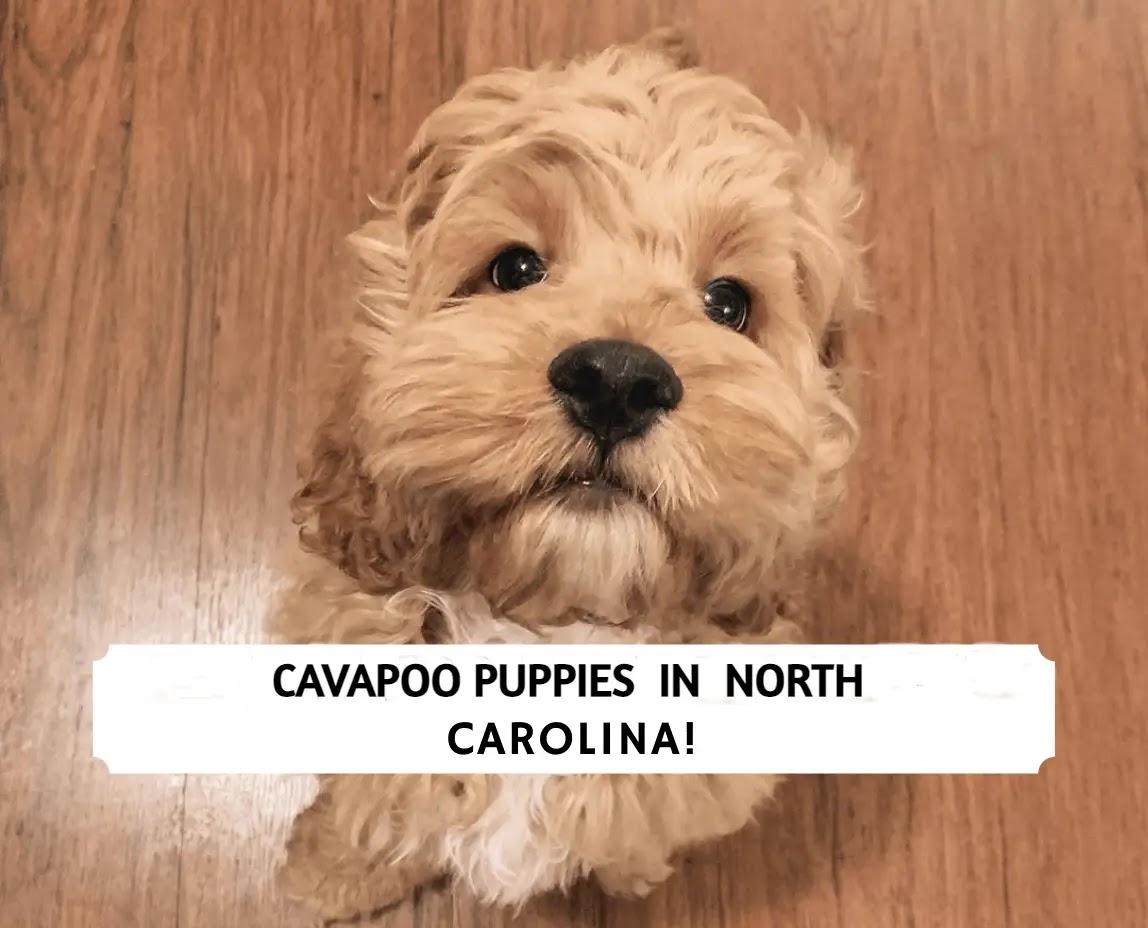 Cavapoo Puppies in North Carolina