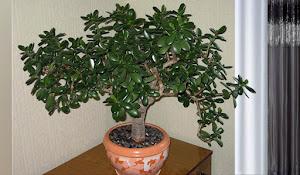 """""""Crassula ovata - obľúbená izbová rastlina."""""""