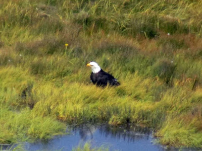 More Eagle Photos - Cooks Inlet