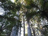 Kauri trees - North Island, New Zealand