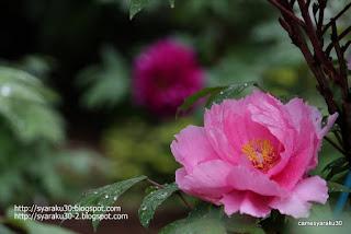 雨上がりのピンクのボタンの写真