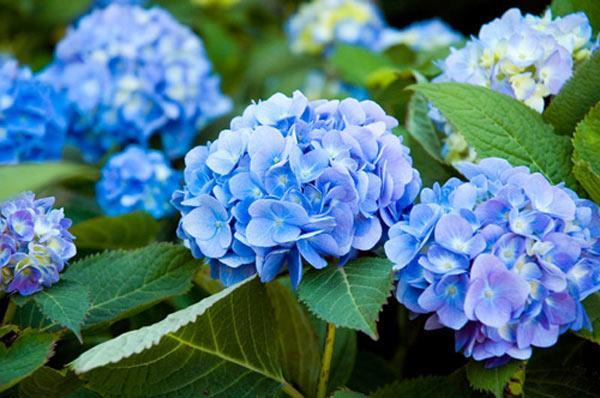 hoa cam tu cau xanh