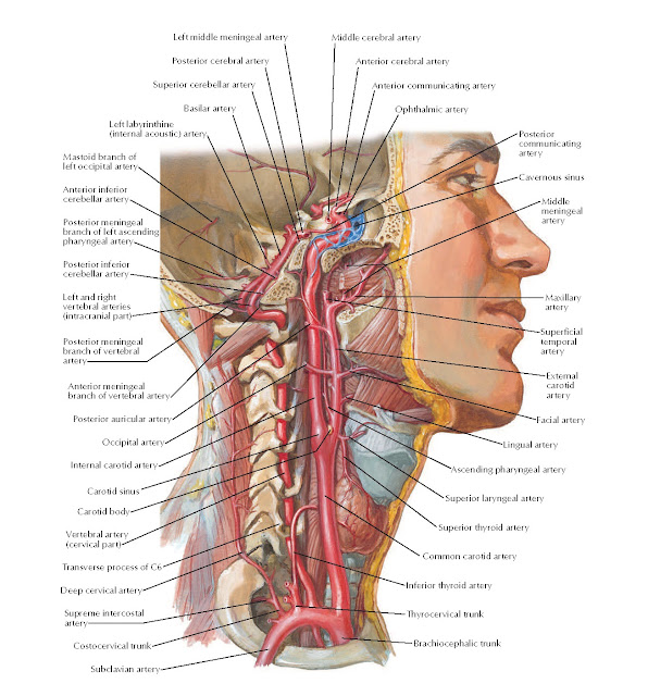 Arteries to Brain and Meninges Anatomy