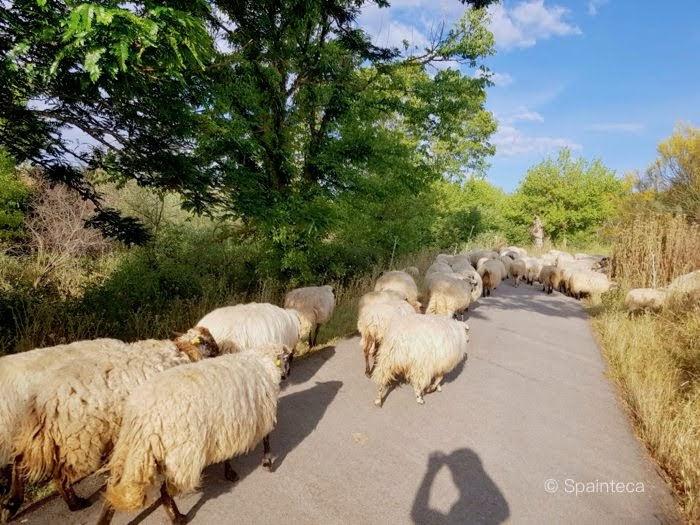 マドリードの自転車道路に出没する羊の群れ