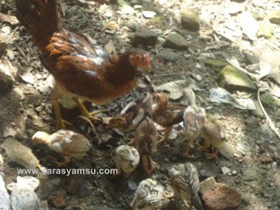 Induk Ayam Menyayangi Anaknya