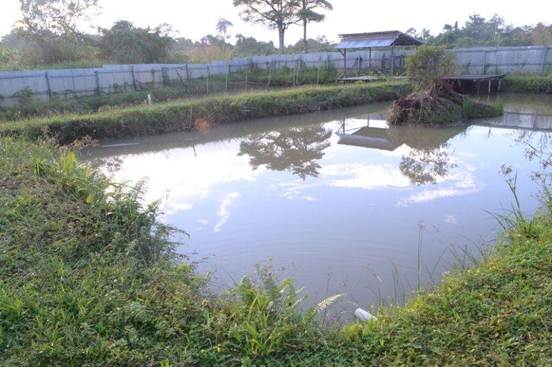 Gambar Budidaya Kolam Tanah  Ikan Arwana Super Red Di Kalimantan Barat