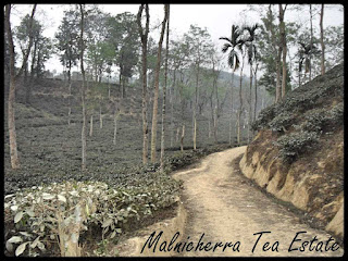 malnicherra-lackatoorah-tea-estate