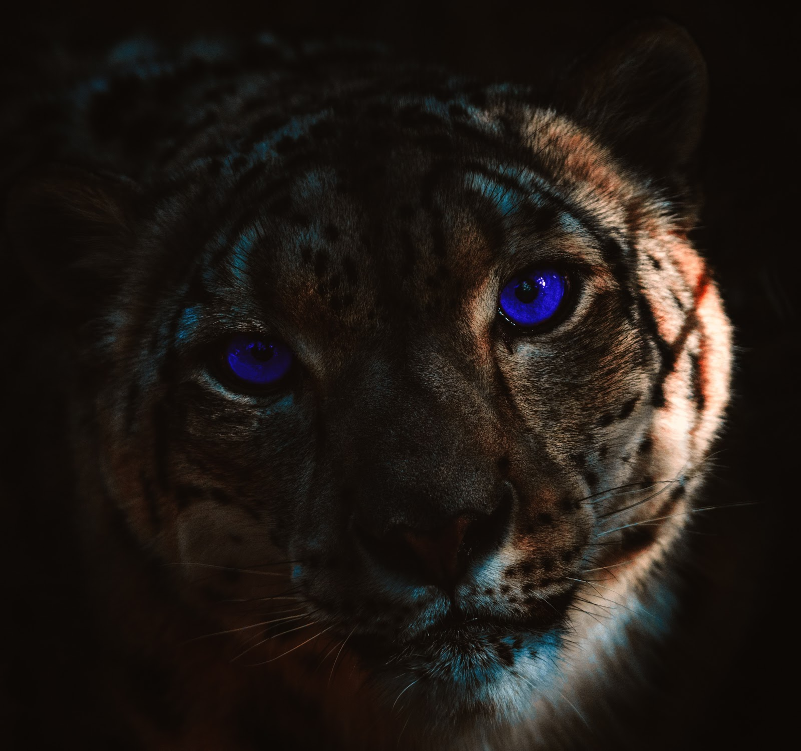 tiger-selective-focus-pictures