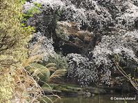 Sakura (blooming cherry trees) around pond - Ueno Park, Tokyo, Japan