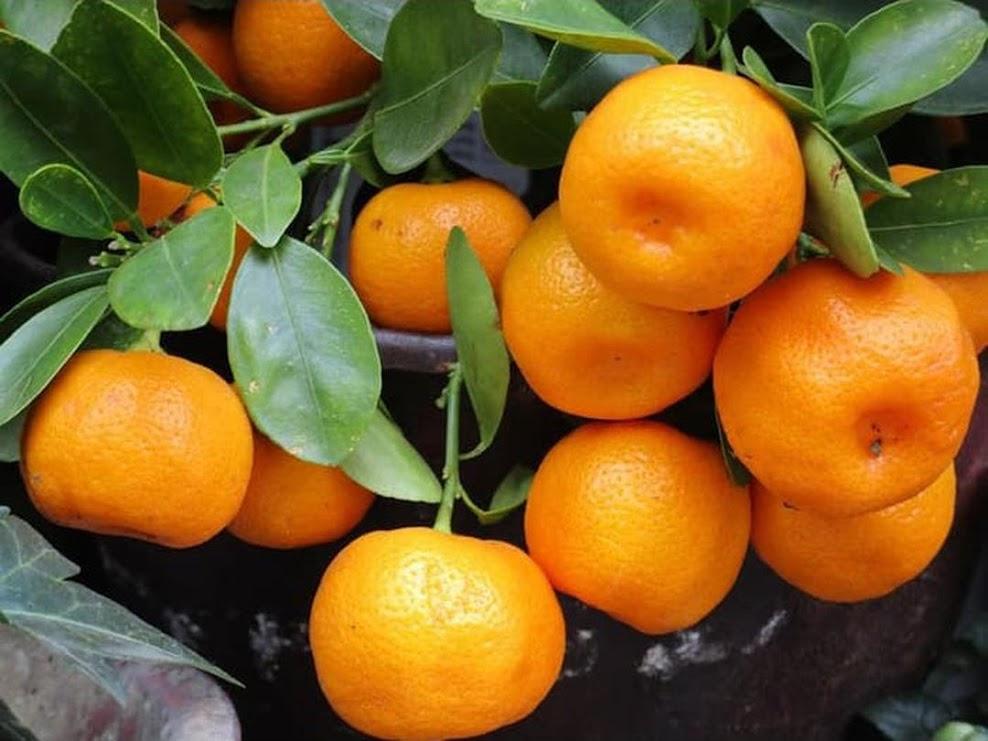 Bibit Jeruk Mandarin Bengkulu