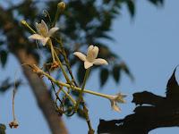 Neem Chameli Flower.