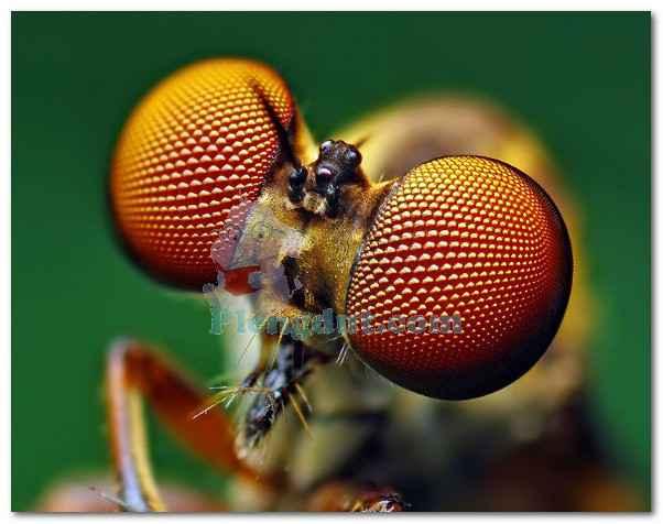 Mata majemuk arthropoda misalnya serangga yang terdiri dari ribuan ommatidia