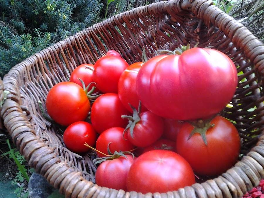 Tomates en invernadero mes de Octubre en Asturias. Año 2014
