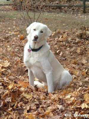 Livestock guardian animals such as this Akbash dog help keep chickens safe in their yard.
