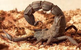 العقرب العربي ذو الذيل السمين أو العقرب الأسود Androctonus
