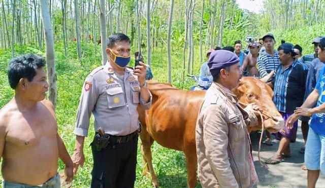 Kapolsek dan warga saat mengamankan sapi milik korban