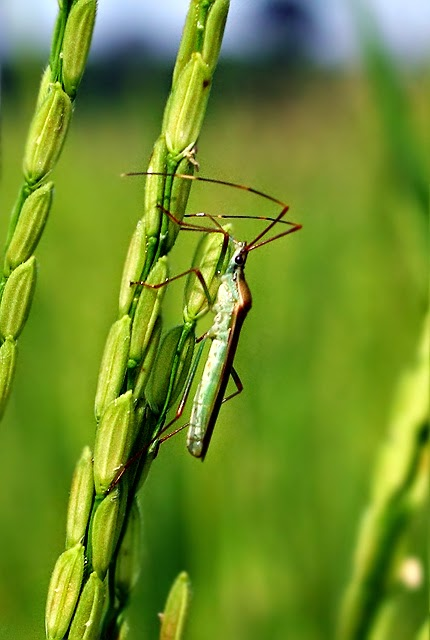 Nature And Farming  Rice Production  Chapter 10