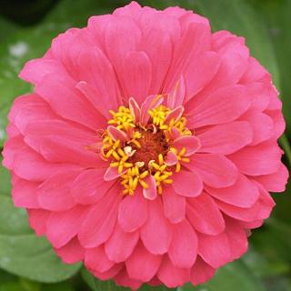 Crisantemo rosa - Solo Nuevas