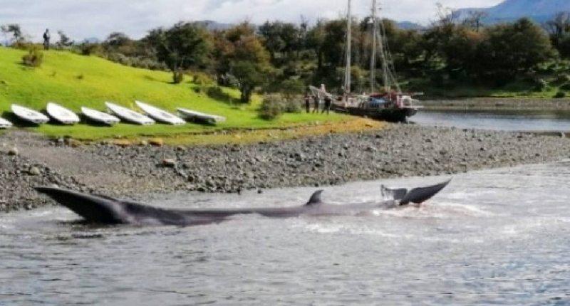 Grupo de 11 orcas atacó a dos ballenas en la costa de Puerto Williams