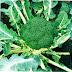 Klasifikasi Brokoli (Brassica oleracea)