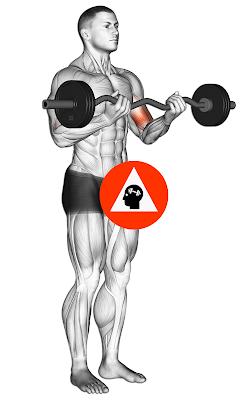 curl biceps barre ez entrainement musculation