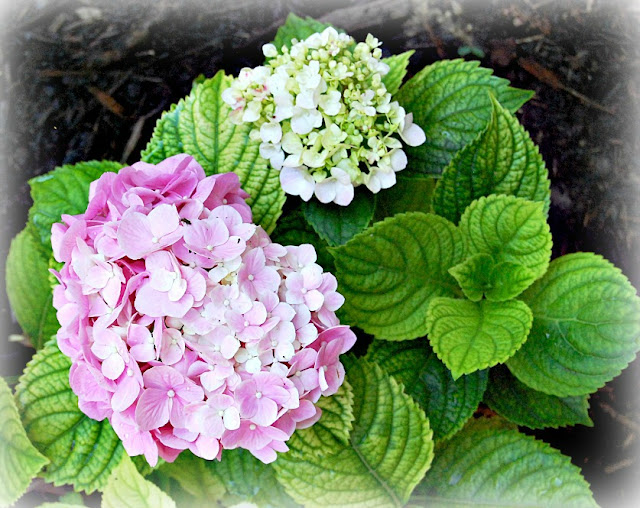 bigleaf, french, mophead, hydrangea, pink, garden, gardening, growing, market, flowers, flowerfarm,