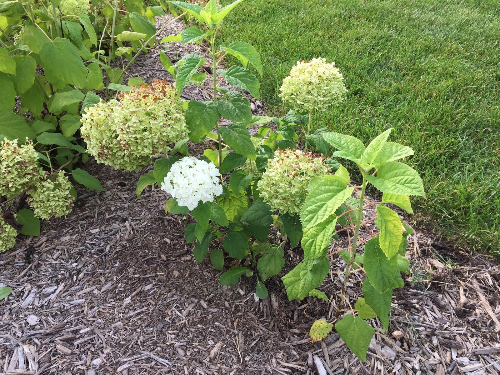 Compare Sun Burned To Fresh Annabelle Hydrangea Bloom Backyard
