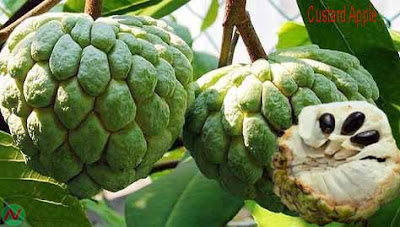custard apple fruit; custard apple