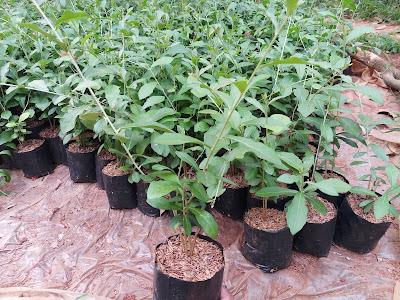 Jual pohon lee kwan yew | Jual bibit pohon lee kwan yew - SuryaTaman