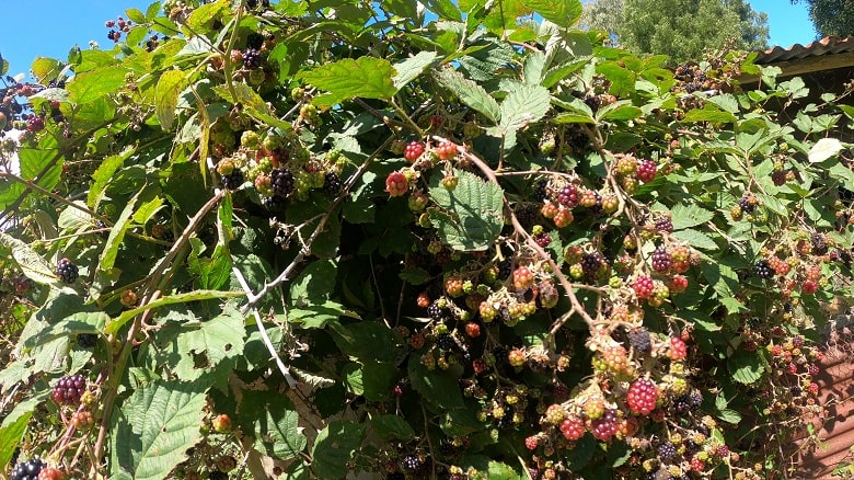 Today the European blackberry is regarded as one of the worst weeds in Australia