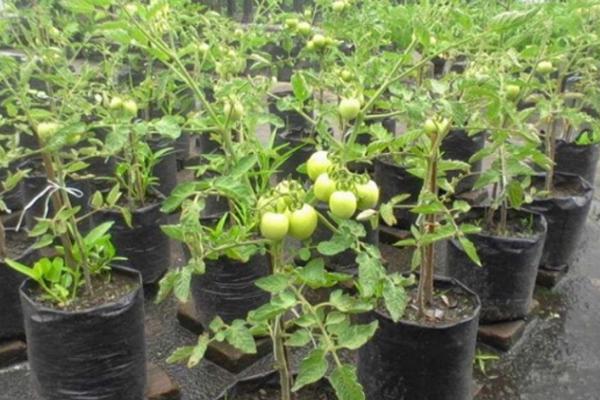 Cara Menanam Tomat Dalam Pot