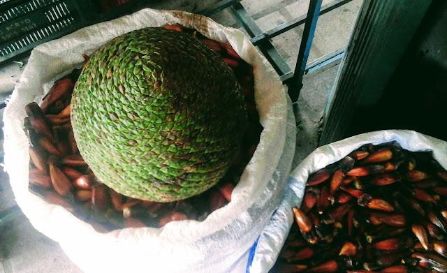 A foto mostra a pinha o fruto da árvore da araucária de onde se retira as sementes com saborosa amêndoa conhecida como pinhão.