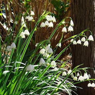 庭に咲いているスノーフレーク