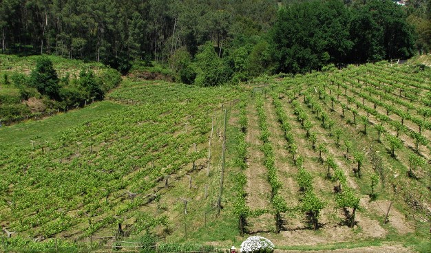 plantações de vinhas em Melgaço