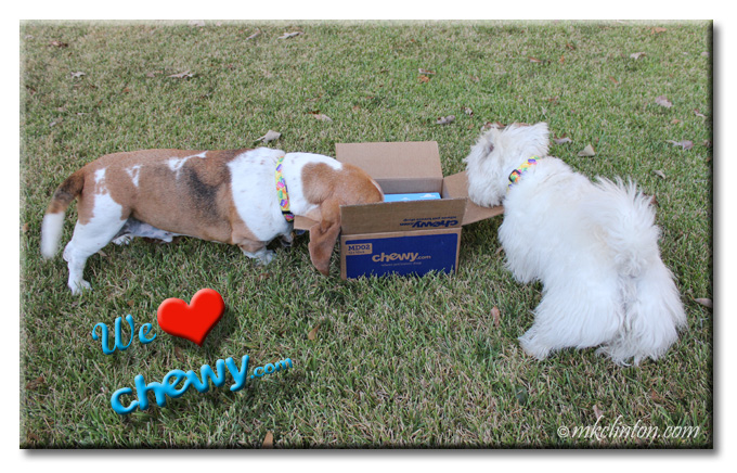 Bentley basset and Pierre Westie looking inside their new Chewy.com box