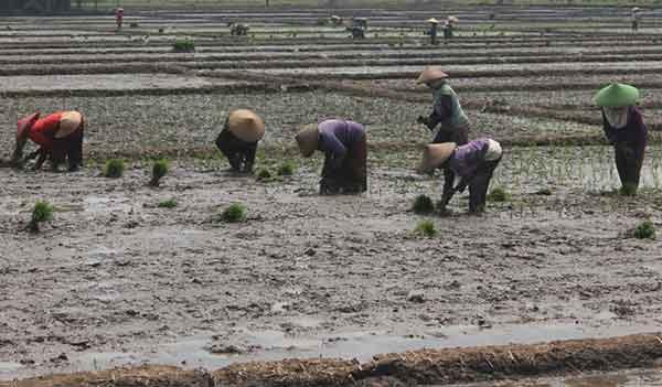 petani majalengka mulai tanam padi