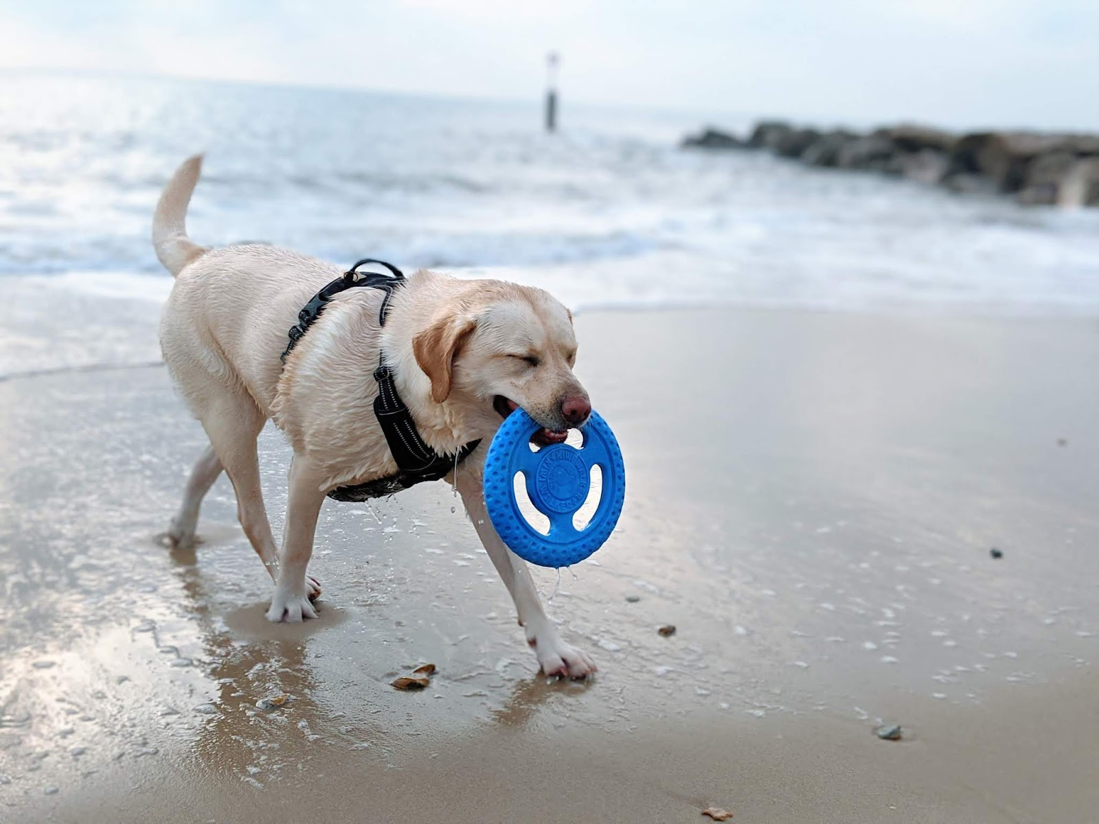 Scully the Labrador with frisbee coming out of sea