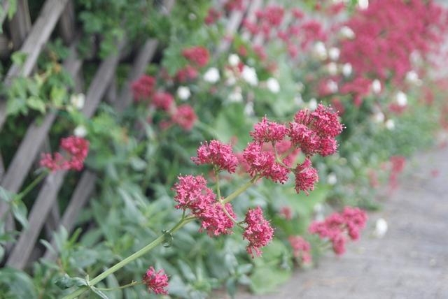 Rote Spornblume Blüten im Mai