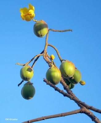 January flowers, buttercup tree