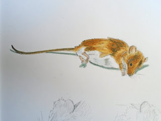 Wood mouse watercolour study