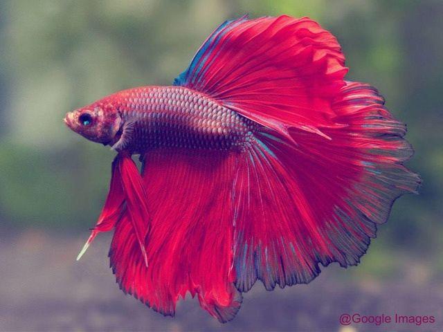 Gambar dan Foto Ikan Laga