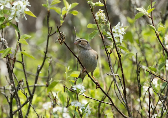 Clay-coloured Sparrow - Grayling Forest, Michigan, USA