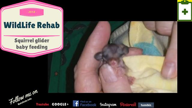 Rehab   Squirrel glider   baby in rehab feeding
