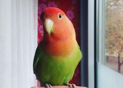 Suara Lovebird Ngekek Durasi Panjang