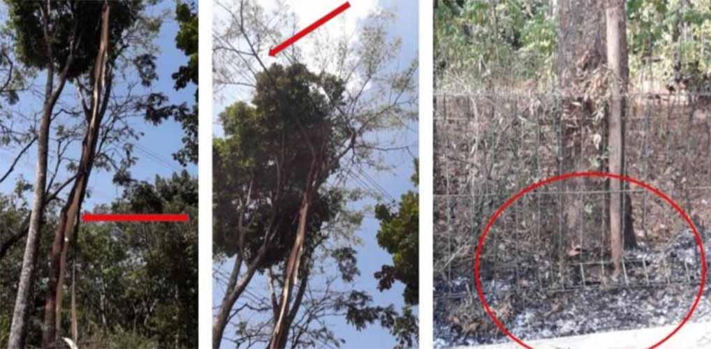 pohon sengon sebabkan listrik mati