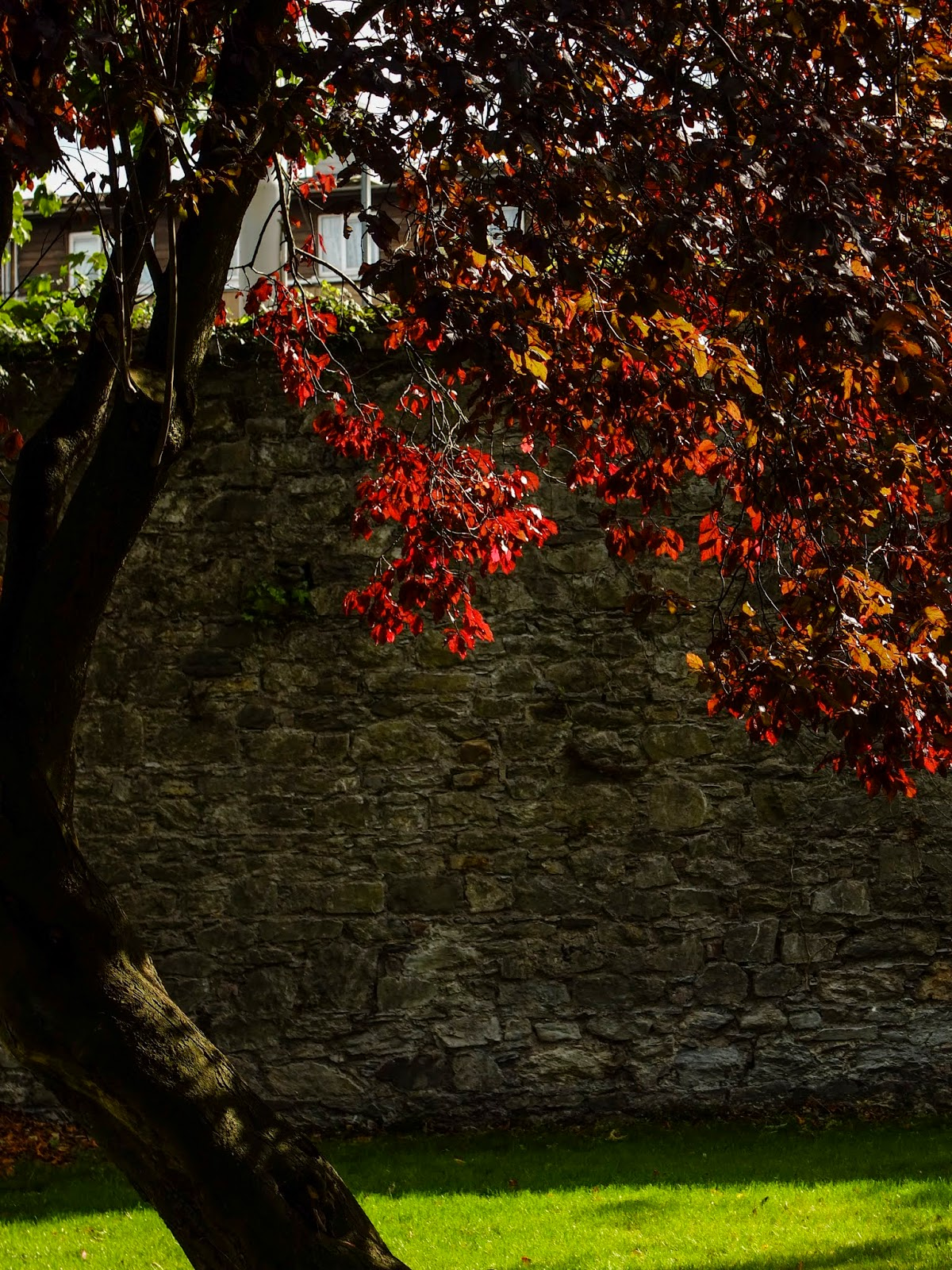 A red maple tree in sunlight on green grass with a stone wall behind it.